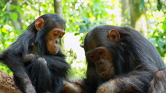 Captive Chimpanzees May Get Endangered Status in US
