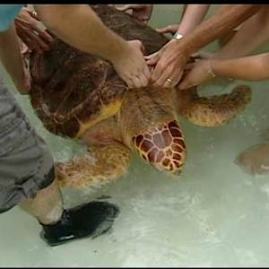 Sapphire The Sea Turtle Makes It To New Home