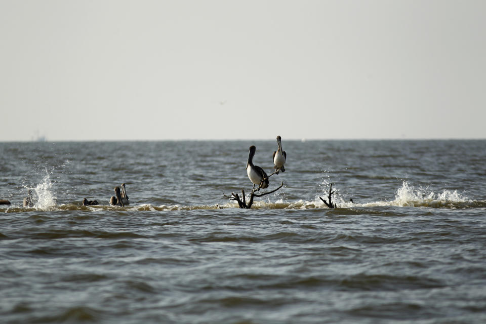 A pelican sits on the last remaining mangrove remnant, on a formerly small island, as it erodes into the bay, next to Cat Island in Barataria Bay in Plaquemines Parish, La., Wednesday, April 11, 2012. (AP Photo/Gerald Herbert)
