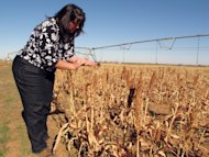 In this Tuesday, Dec. 11, 2012 photo, Caddo County farmer Karen Krehbiel examines unharvested milo on her familys farm near Hydro, Okla. Not all of the farms milo fields were irrigated because of an ongoing drought, the latest natural disaster to strike the county, which also has been beset in recent years by floods, tornadoes, ice storms and hail. (AP Photo/Sean Murphy)