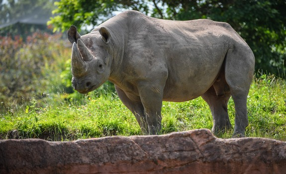 Rhino Reproduction Could Get Boost from Hormone Tests