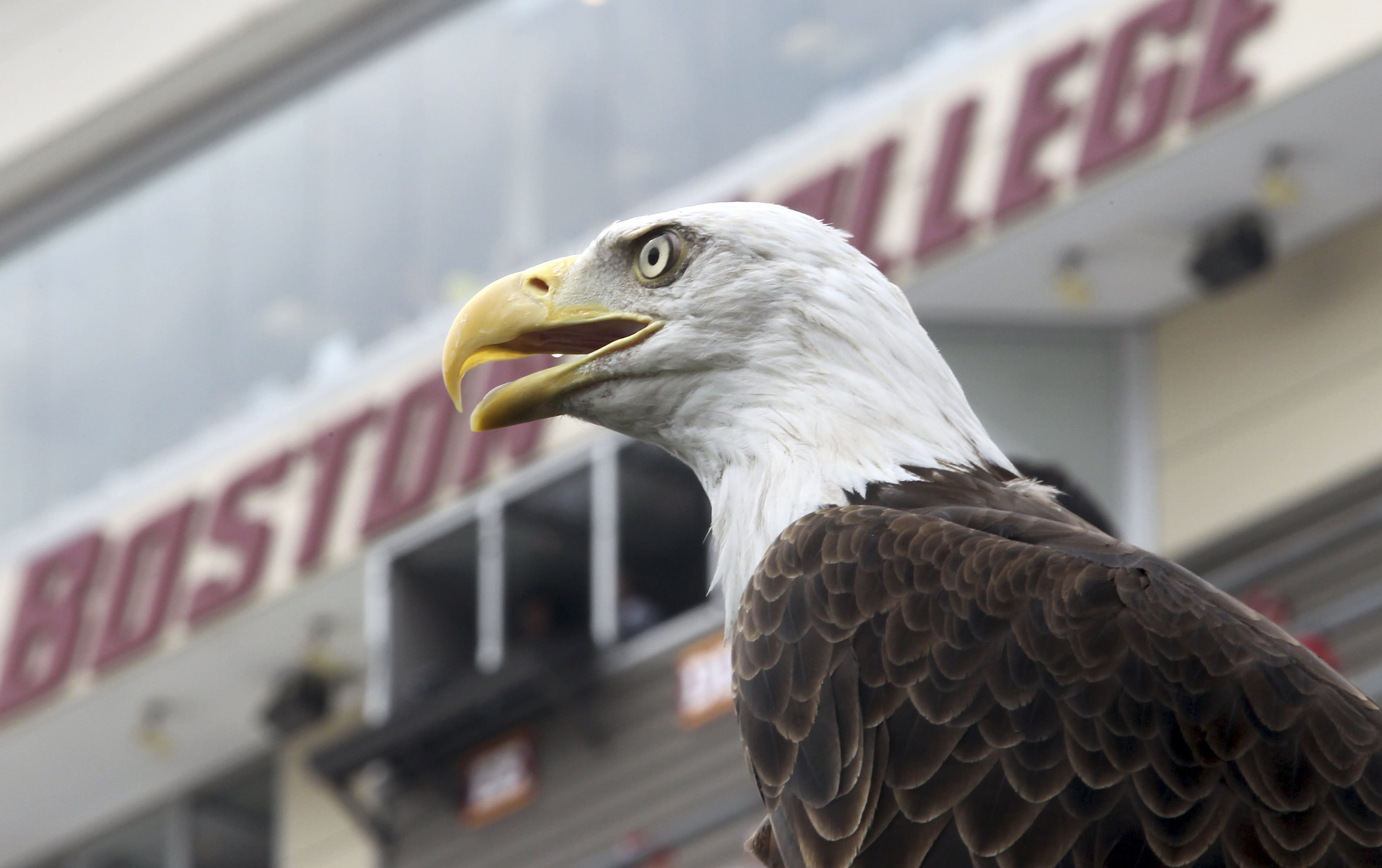 In Boston area, the bald eagle population is soaring