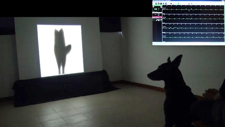 In this 2012 image provided by the Department of Veterinary Medicine, University of Bari, a dog, bottom right, watches a video of the silhouette of another dog wagging its tail to its left. At top right is an inset image of the dog's heart rate while the dog was watching the video. A few years ago, researchers discovered a subtle difference in how dogs wag their tails. When a dog sees something positive, such as its owner, it tends to wags its tail more to its right. The wagging tends to go left when it sees something negative, like an unfamiliar dominant dog. In the Thursday, Oct. 31, 2013 issue of the journal Current Biology, the same Italian researchers report that other dogs pick up on that difference, and it's reflected in their behavior and even their heart rates. (AP Photo/Department of Veterinary Medicine, University of Bari)