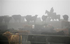 A cowboy moves livestock in a cattle feedlot next to a Tyson slaughterhouse near Pasco