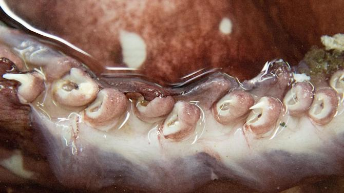 The tentacles of a colossal squid, defrosting at Te Papa labs in Wellington, New Zealand, on September 16, 2014