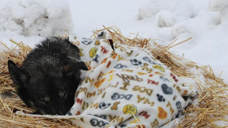 An Iditarod sled dog sleeps under a blanket at the McGrath checkpoint on Wednesday, March 6, 2013. (AP Photo/The Anchorage Daily News, Bill Roth)  LOCAL TV OUT (KTUU-TV, KTVA-TV) LOCAL PRINT OUT (THE ANCHORAGE PRESS, THE ALASKA DISPATCH)