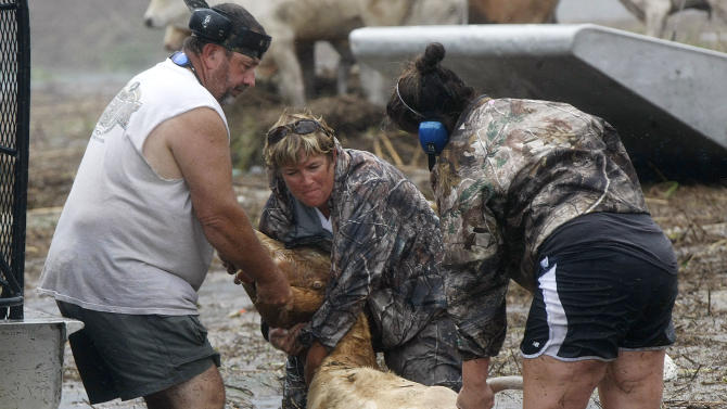 FILE - In this Aug. 30, 2012 file photo, Shelly Henson, center, and Kristen Scarabin, right, try to rescue cattle from floodwaters after Hurricane Isaac came through the region, in Plaquemines Parish, La.  Hurricane Isaac turned some of the best ranch land in Louisiana into a miles-long pond of blackish and foul-smelling floodwaters.    (AP Photo/Gerald Herbert, file)