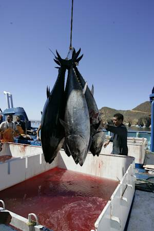 FILE - This March 5, 2007 file photo shows workers harvesting bluefin tuna from Maricultura's tuna pens near Ensenada, Mexico. New research found increased levels of radiation in Pacific bluefin tuna caught off the coast of Southern California. Scientists said the radiation found in the fish came from Japan's Fukushima nuclear plant that was crippled by the 2011 earthquake and tsunami.  (AP Photo/Chris Park, File)
