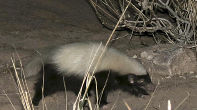A hog-nosed skunk is seen near a campsite in the Grand Canyon in Arizona in this photo made on Aug. 4, 2012.  A river guide familiar with animals in the Canyon spotted the skunk - not known to the area - and now park officials are deciding whether to add it to the list of species found in the park or ignore it as just another animal passing through. (AP Photo/Jen Hiebert)
