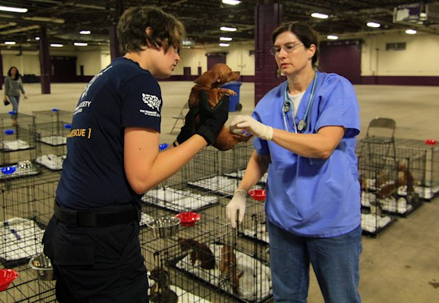 In this photo released by the Pennsylvania Department of Agriculture, Humane Society of the United States representative Sarah Speed, left, and Pennsylvania Department of Agriculture Veterinarian Dr. Nan Hanshaw examine one of the nearly 200 Chihuahuas seized from a home in northeastern Pennsylvania, on Friday, July 20, 2012, at the Pennsylvania Farm Show Complex and Expo Center in Harrisburg, Pa. Department spokeswoman Nichole Bucher says veterinarians who checked the 187 dogs found no serious health problems, only minor eye, teeth and skin problems. She says the two men who kept the dogs at their Columbia County home treated them as pets and identified them by name to officials who took them away. (AP Photo/Pennsylvania Department of Agriculture, William R. Nichols)