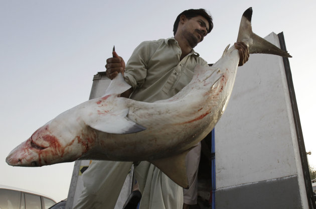 In this Tuesday, June 12, 2012 photo, a man carries a blacktip shark imported from Oman to be auctioned at a fish market in Dubai, United Arab Emirates. The global trade in shark fins totals hundreds of millions of dollars a year, and tens of millions of sharks around the world may be caught every year for their fins. Some experts estimate that stocks of some shark species in inshore reef systems around the world have fallen by up to 90 percent. (AP Photo/Kamran Jebreili)