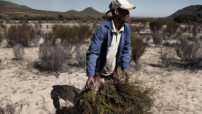 Climate change threatens S.Africa's rooibos tea