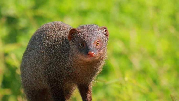 Travel Wildlife Indian Grey Mongoose