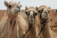 Ancient Camel Bones Prove Bible Written Centuries after Genesis Events