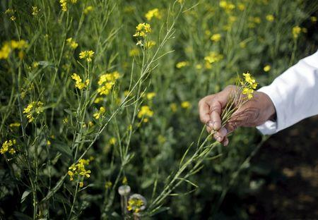 India may decide on GM food as China makes big leap with Syngenta buy
