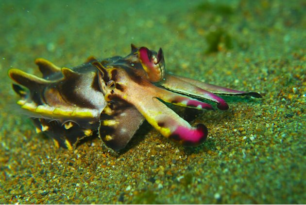 This cuttlefish really lives up to its name! With its flashy markings and showy designs, it looks like the fashion model of the underwater world. What's it called? The Flamboyant Cuttlefish. How fitti