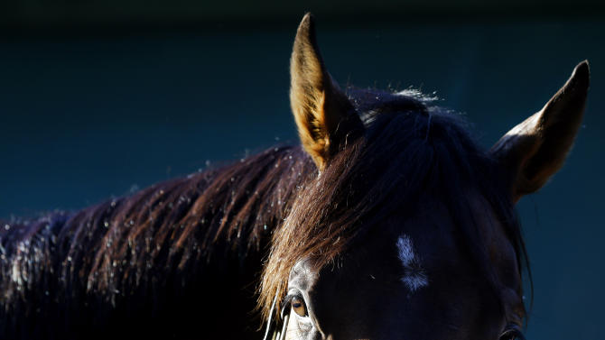 Kentucky Derby winner Orb stands as he is cooled down after a workout at Pimlico Race Course in Baltimore, Friday, May 17, 2013. The Preakness Stakes horse race is scheduled to take place May 18. (AP Photo/Patrick Semansky)