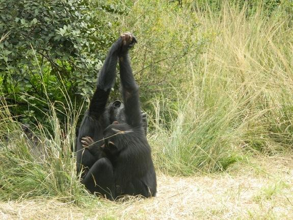 Chimp 'Secret Handshakes' May Be Cultural
