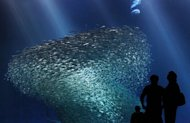 A large school of sardines in the Monterey Bay Aquarium&#39;s &quot;Open Sea&quot; exhibit.