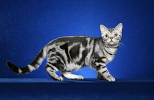 Feline Find: How the Tabby Cat Got Its Stripes