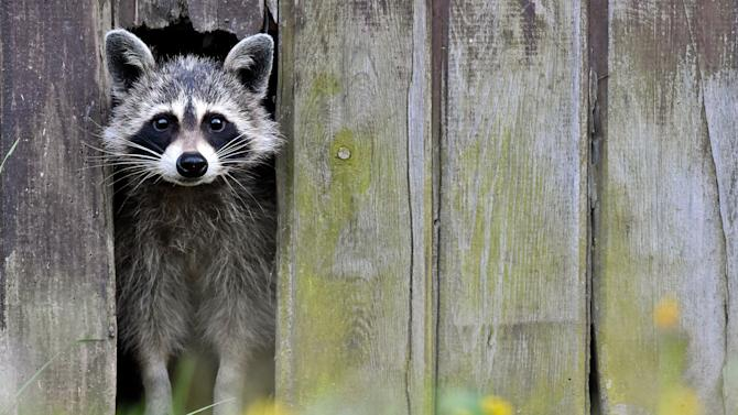 A raccoon comes out from a hole in a barn in Sieversdorf, eastern Germany.