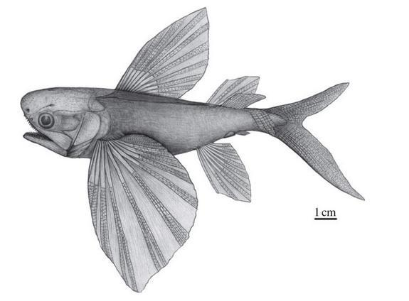 Flying Fish Evolved to Escape Prehistoric Predators