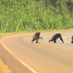 WATCH: Cautious Chimps Look Both Ways Before Crossing