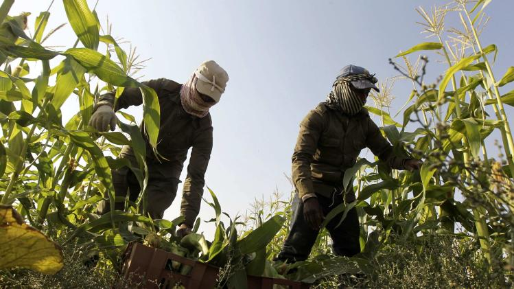 Farmers harvest corns on a farm in Al-Kharj, south of Riyadh