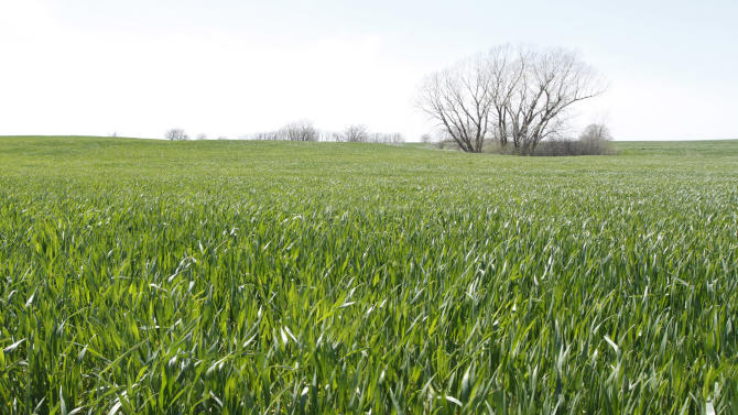 In this April 25, 2013, photo is a wheat field in Sedgwick County, Kan. The Agriculture Department Friday, May 10, 2013, forecast U.S. farmers will harvest a far smaller winter wheat crop this season than a year ago, particularly for the hard red varieties used to bake bread. (AP Photo/The Wichita Eagle, Travis Heying)