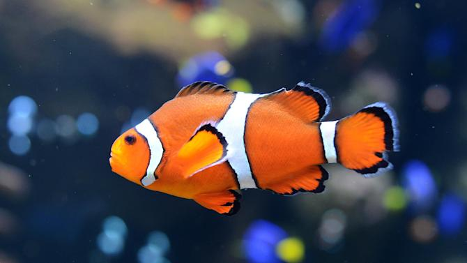 A clown fish swims at the Aquarium of the Pacific in Long Beach, California on April 26, 2012