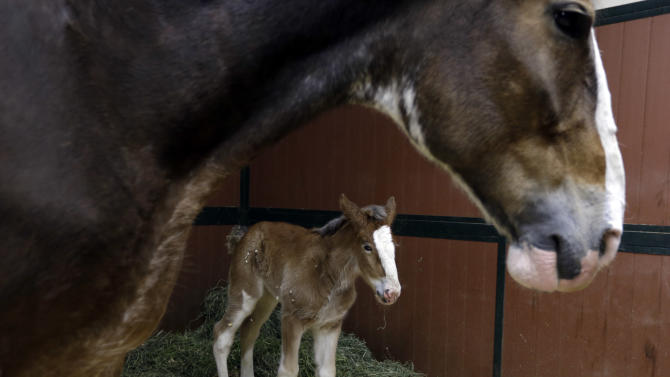 Budweiser Clydesdale foal is named Hope