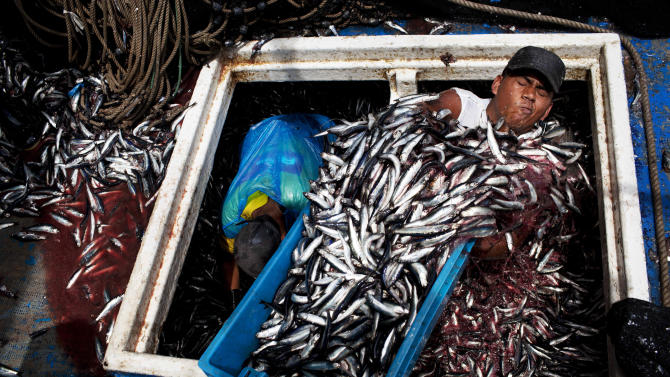 """FILE - In this Dec. 7, 2012 file photo, Marvin Vega unloads a crate of anchovies from the holding area of a """"boliche,"""" the Peruvian term for boats that are used by fishermen who fish with nets, at the port of El Callao, Peru. Not only has overfishing of the Peruvian anchovy, or anchoveta, battered the industry that makes Peru far and away the world's No. 1 fish-meal exporter, it has also raised alarm about food security in a nation that had long been accustomed to cheap, abundant seafood. Peru's government ordered radical restrictions on what the country's 1,200-boat commercial fleet could catch after anchoveta stocks plummeted. But compliance with strict government quotas has been problematic. (AP Photo/Rodrigo Abd, File)"""