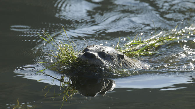 A river otter carries seaweed back to its nest Thursday, Jan. 3, 2013, in San Francisco. For the first time in decades, a river otter has made San Francisco its home, taking up residence in the ruins of the Sutro baths, a 19th century seaside public pool facing the Pacific Ocean. (AP Photo/Ben Margot)