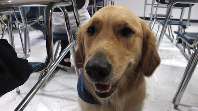 """In this Jan. 14, 2013 photo, Junie, a """"therapy dog"""" at Prospect High School, sits in a classroom at the school in Mt. Prospect, Ill. The 18-month-old golden retriever is one way this school is trying to help students cope with a rise in stress, anxiety and panic attacks. Many say these issues are a problem in schools across the country. (AP Photo/Martha Irvine)"""