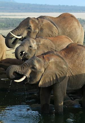 FILE - In this May 27, 2005 file photo, elephants drink at a water hole in Kenya's Tsavo East national park. It's been a disastrous year for elephants, perhaps the worst since ivory sales were banned in 1989 to save the world's largest land animals from extinction, the wildlife trade monitoring network TRAFFIC said Thursday, Dec. 29, 2011. (AP Photo/Karel Prinsloo, File)