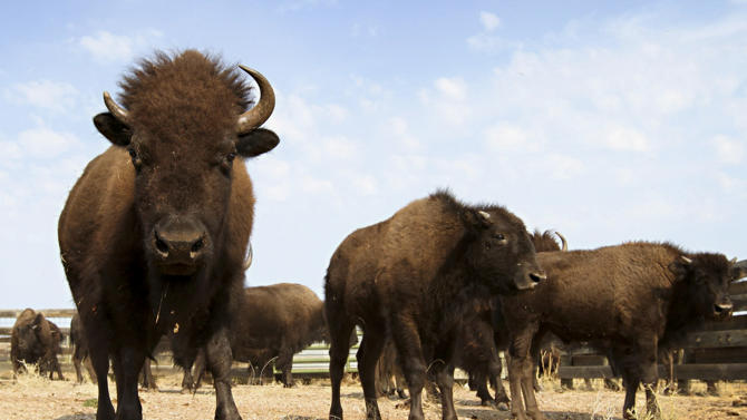FILE - This Sept. 23, 2012 file photo shows bison in a state park in South Dakota. The year's first case of animal anthrax in South Dakota has been confirmed in a bison herd in the state, home to the second-most cattle ranches in the country. But experts say there is little need to be alarmed because most livestock is vaccinated and the threat to humans is minimal in the U.S. thanks to meat-quality inspections and ranchers adept at dealing with the bacteria. (AP Photo/Amber Hunt, File)
