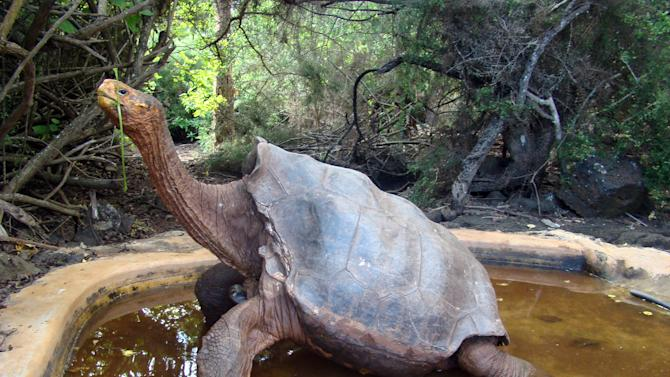 This undated photo released by Galapagos National Park shows tortoise Diego at Galapagos National Park. Diego is another centenarian reptile, but unlike Lonesome George who was not able to reproduce, Diego has sired hundreds of offspring. Galapagos National Park authorities say it is impossible to know Diego's age, but they believe he is well over 100 and estimate Diego is the father of 40 to 45 percent of the 1,781 tortoises born in the breeding program. (AP Photo/Galapagos National Park)