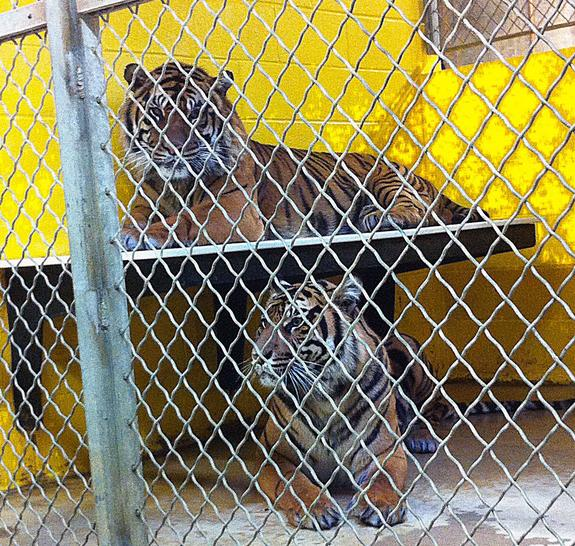 Sumatran Tigers Finally Mate at National Zoo