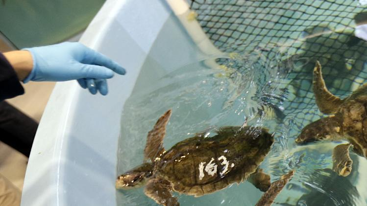 In this Thursday, Dec. 6, 2012 photo, rescued Kemp's ridley sea turtles are fed at the New England Aquarium's Animal Care Center in Quincy, Mass. Sea turtle strandings in Cape Cod Bay are so common that the phenomenon has its own annual season and an established network of rescuers trained to find and help the endangered animals. (AP Photo/Elise Amendola)