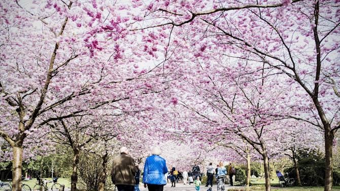 People walk  along an avenue of blossoming cherry trees at the cemetary of Bispebjerg in Copenhagen