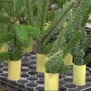 Breeding Christmas Trees Without Needle Mess