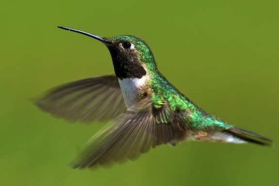 Climate Change Causing Hummingbird Missed Connections
