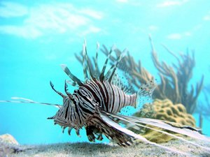 Big Lionfish Found at Disturbing Depths