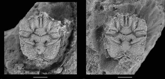 Oldest Spider Crabs Discovered in Fossil Reef