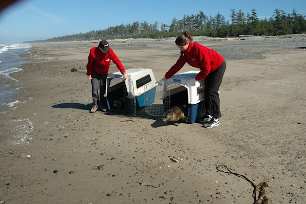 The seal pups get released. Vancouver Aquarium photo