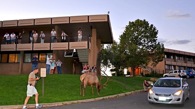 This photo taken Aug. 15, 2011and released by Grand Canyon National Park showing park tourists photographing a park elk as it was seen outside the Thunderbird Lodge, left, on the South Rim of the Grand Canyon in Arizona. People living at and visiting the Grand Canyon decades ago never encountered elk that now regularly create traffic jams, graze on the school's recreational field and hotel lawns and aren't too shy to display their power. (AP Photo/Michael Quinn, Grand Canyon National Park)