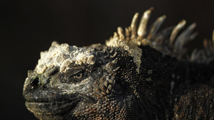 An iguana is seen at Punta Albemarle in Isabela island at Galapagos National Park