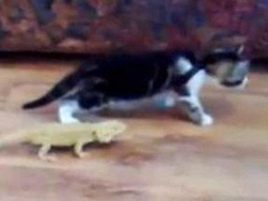 Ha! Lizard Turns Prowling Kitten Into Scaredy-Cat