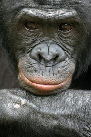 This undated handout photo provided by Friends of Bonobos shows Mikeno in the Congo. Behold the bonobo, our ape cousin that's kinder and gentler than the chimp or, well, us. Now scientists have mapped the bonobo DNA, and some researchers say that may eventually reveal secrets about how the darker side of our nature evolved. Scientists have found that we are as close genetically to the peaceful but little known bonobo as we are to the more violent and better understood chimpanzee. It's as if they are sisters and we are cousins, related to them both equally, sharing some traits with just bonobos and other characteristics with just chimps. (AP Photo/Vanessa Woods, Duke University)