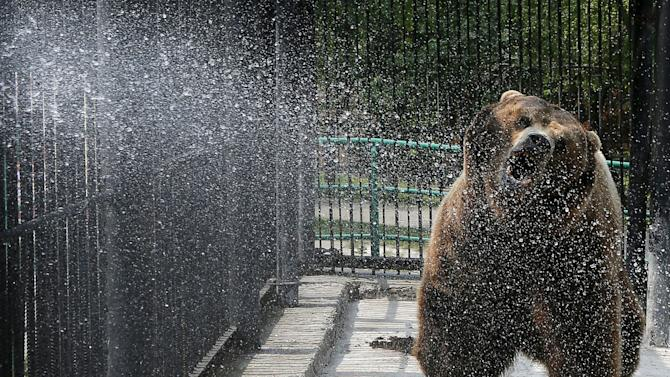 Buyan, a male Siberian bear, reacts while an employee cools it with a stream of water at the Royev Ruchey zoo on the suburbs of the Siberian city of Krasnoyarsk